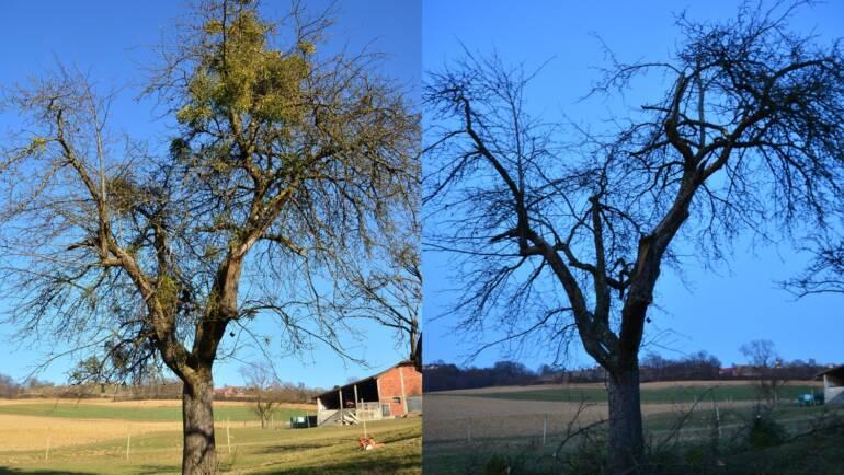 Obrezovanje sadnih dreves